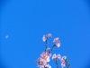 cerisiers - sakura