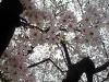 cerisiers 2010