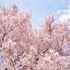 Cerisier Toyama koen