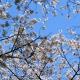 Cerisiers Kanda gawa