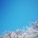 sakura en fleur