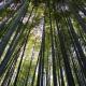 Tenryuji - Kyoto - bambou