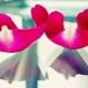 pétales de rose